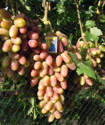 Грозди винограда Юбилей Новочеркасска