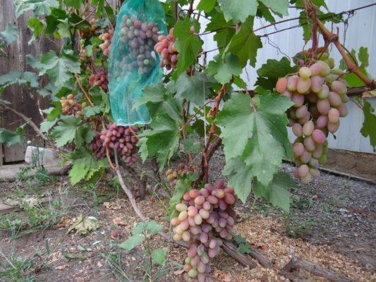 Виноград Юбилей Новочеркасска во время созревания ягод
