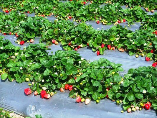 Созревший урожай садовой земляники
