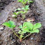 Однорядная посадка садовой земляники в открытый грунт