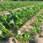 Широкополосная схема посадки садовой земляники