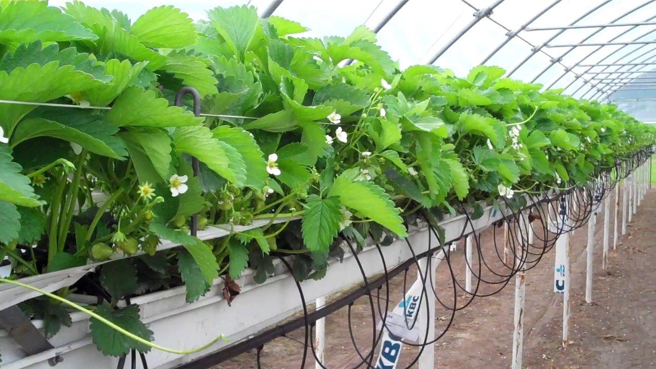На вырастить гидропонике клубники семена с смешивают для табаком чего марихуану