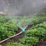 Выращивание рассады садовой земляники в маточнике