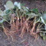 Рассада садовой земляники с открытой корневой системой
