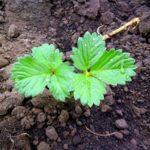 Молодой саженец садовой земляники