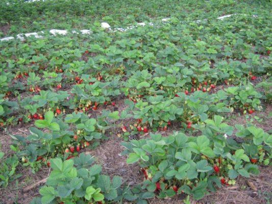 Промышленное выращивание садовой земляники