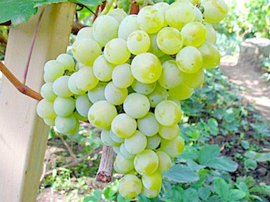 Технический сорт винограда Кристалл