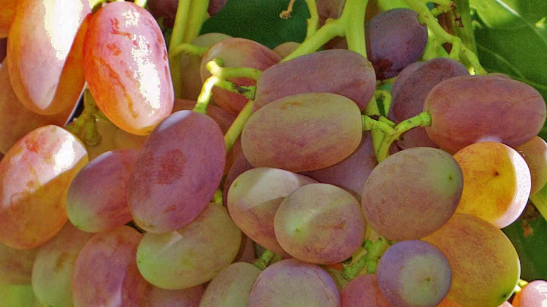 успехов процветания, виноград виктор описание сорта фото отзывы ягоды оттеняют все
