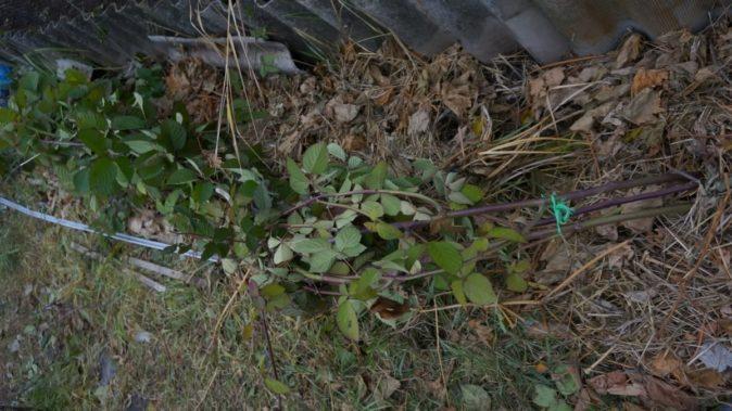 Пришпиленная к земле ветка ежевики