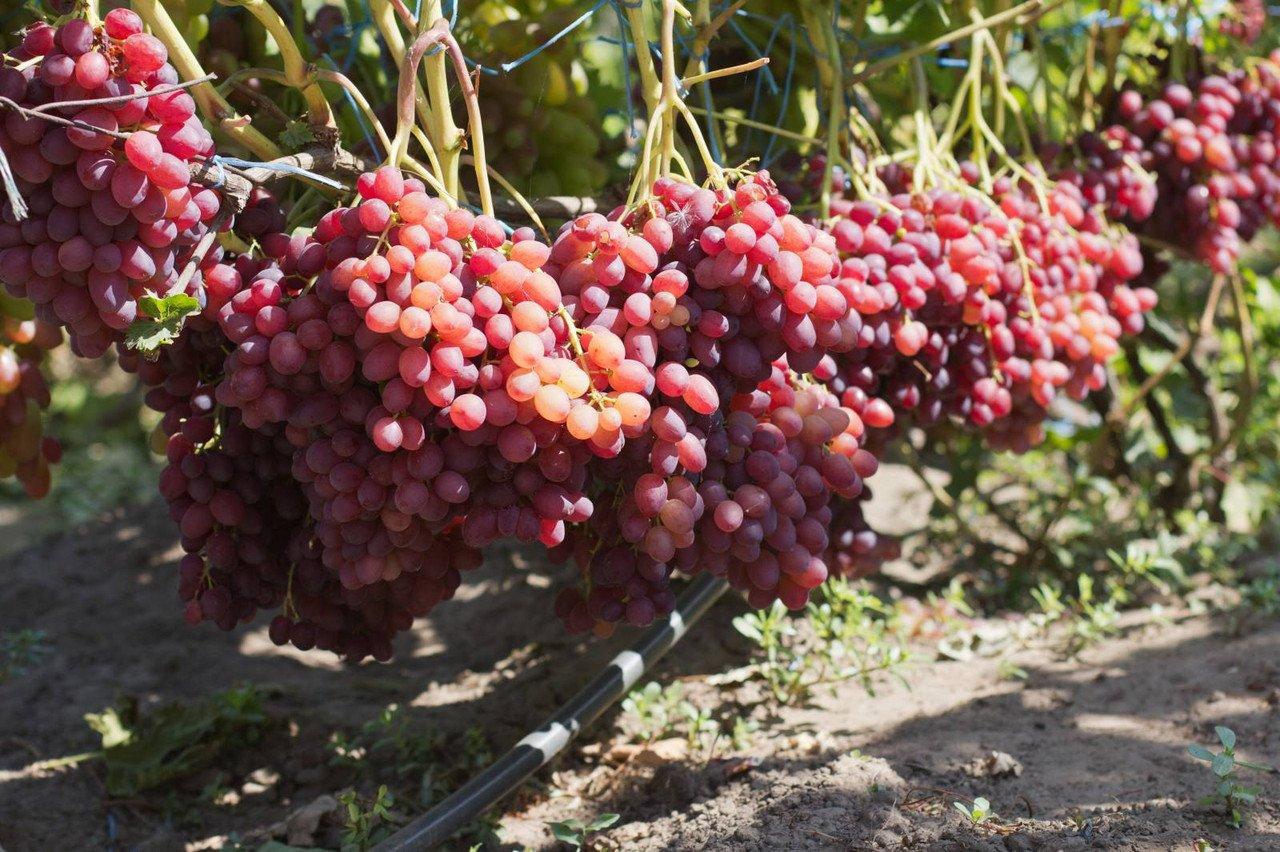 Виноград Велес - описание сорта с фото, отзывы, посадка и уход