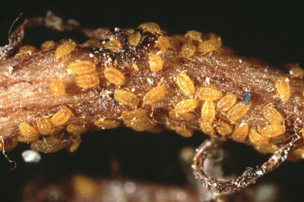 Личинки филлоксеры