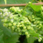 Филлоксера на гроздьях