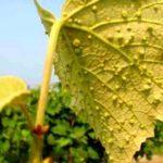 Виноградная тля