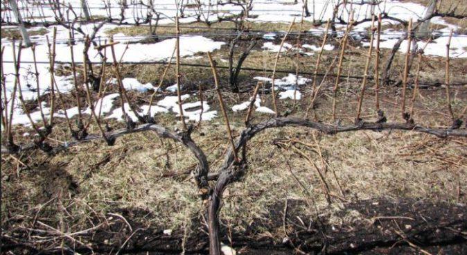 Сформированная виноградная лоза