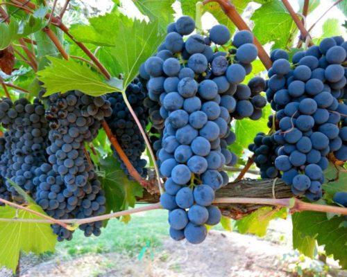 Гроздь винограда Руслан