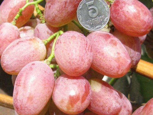 Спелые ягоды Анюты