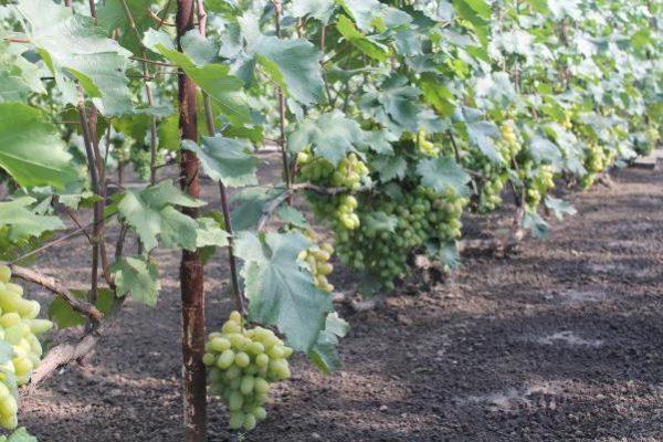 виноградный ряд