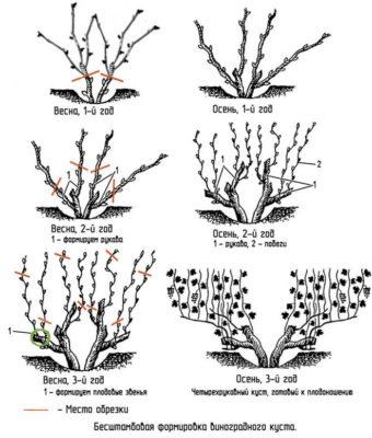 Веерное формирование виногада