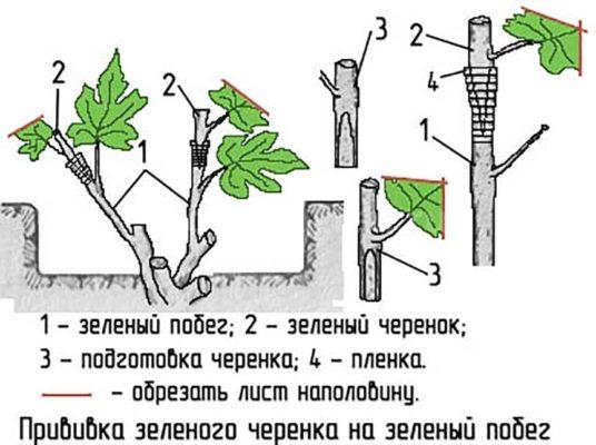 Схема прививки черенка винограда