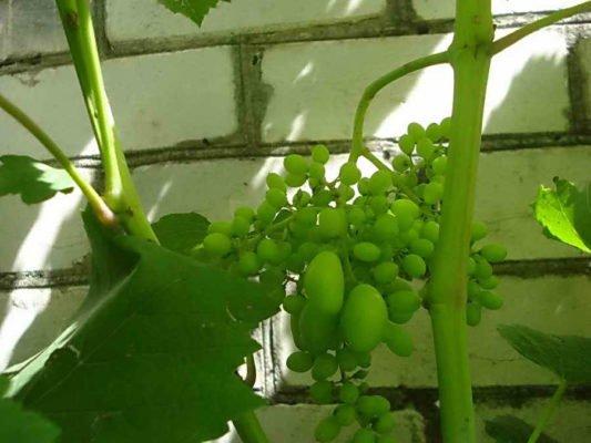 Измельчание ягод винограда при недостатке влаги