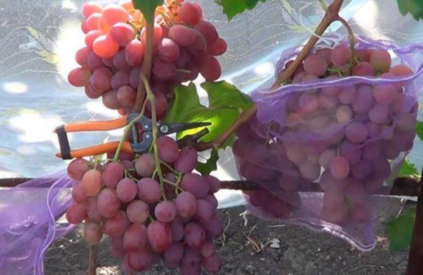 Защита винограда Анюта от птиц