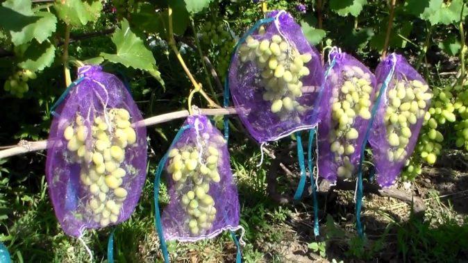 Защита винограда от птиц