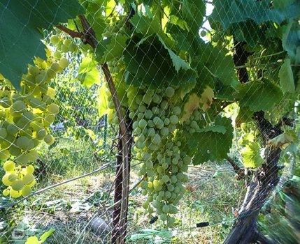 Виноградная лоза, укрытая сеткой