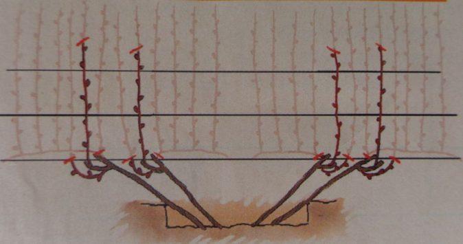 Веерная схема формирования виноградной лозы