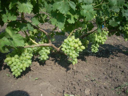 Урожай винограда сорта Бажена