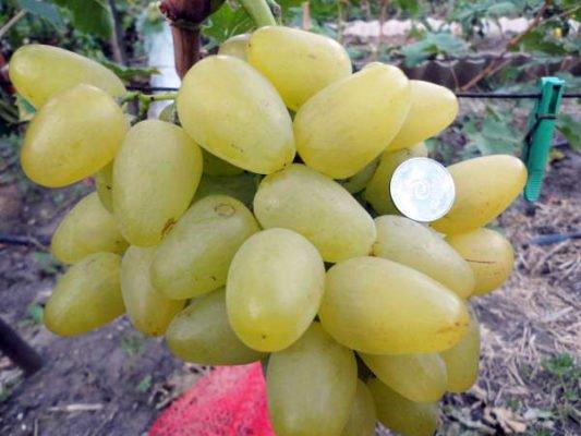 Ягоды винограда сорта Бажена