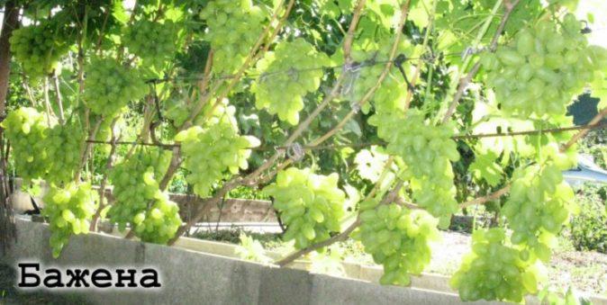 Лоза винограда Бажена