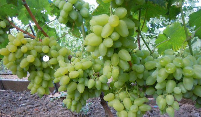 Урожай винограда Бажена