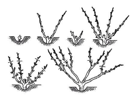 Веерное формирование винограда