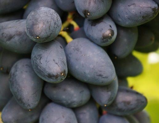 Внешний вид ягод винограда сорта Викинг