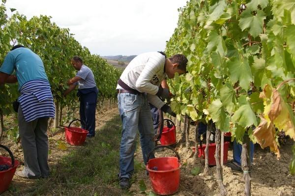 Уборка винограда