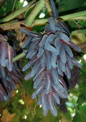 Гроздь винограда сорта Ведьмины пальцы