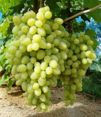 Грозди винограда Долгожданного