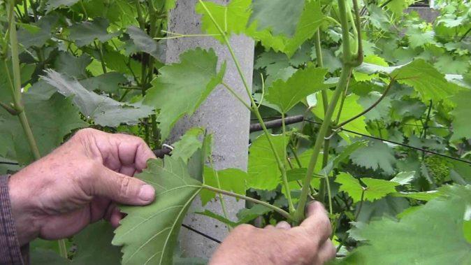 Пасынкование винограда