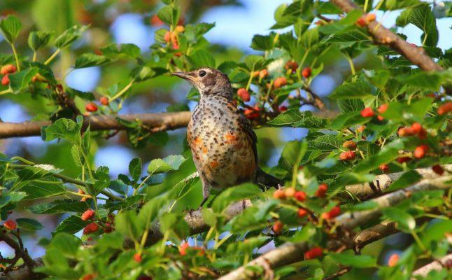 Птица на ветвях шелковицы