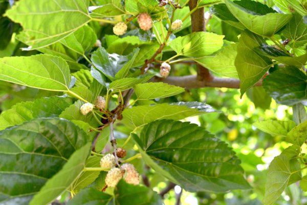 Ягоды белой шелковицы на дереве
