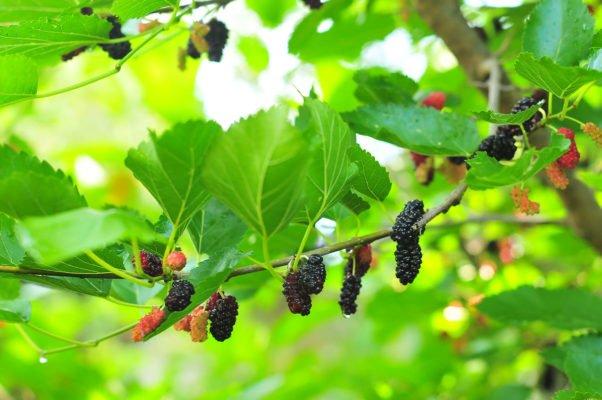 Ягоды чёрной шелковицы на дереве