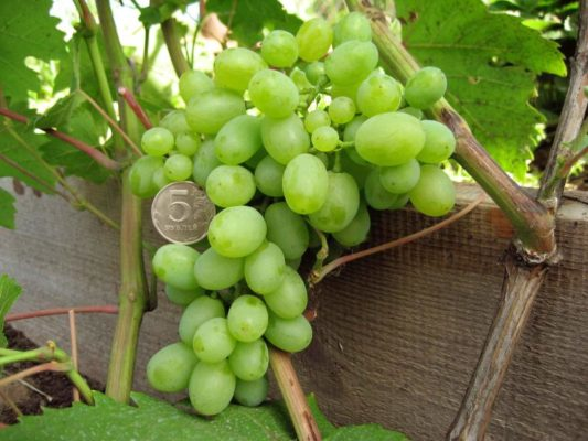 Гроздь винограда Гарольд
