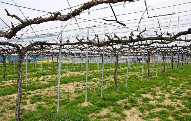 Штамбовый виноградник