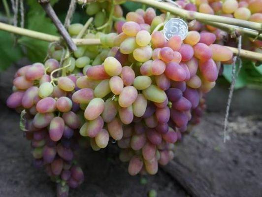 Ягоды Арочного винограда
