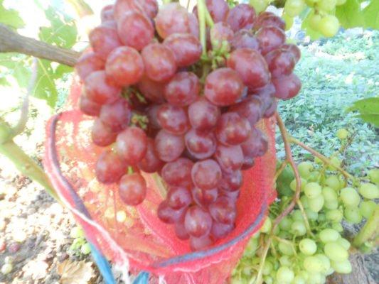 Защита винограда сеткой