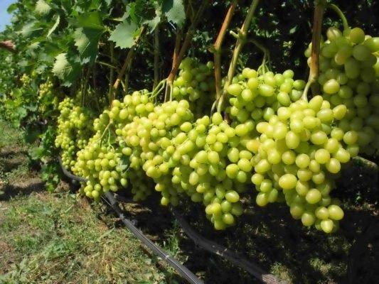 Виноград Талисман на кусте