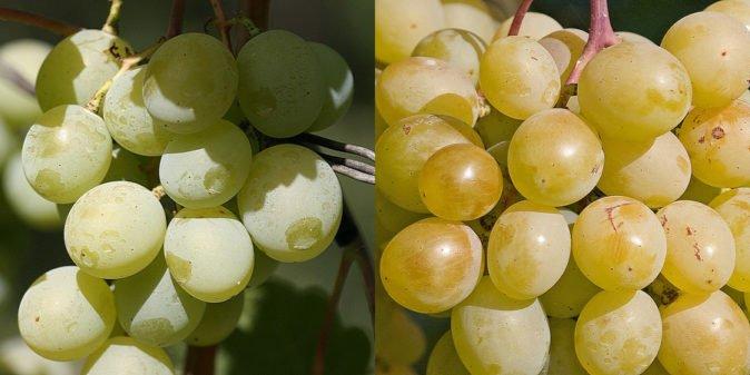 Виноград Талисман в разные периоды созревания
