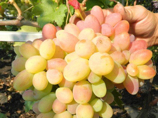 Кисть винограда Сенсация