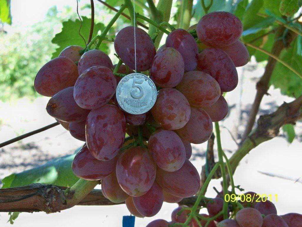 Виноград рута описание сорта фото