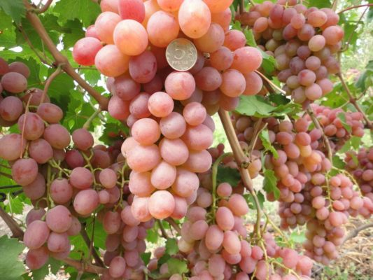 Грозди винограда Руты